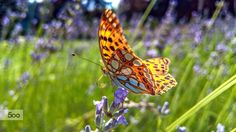 Fly Fly Butterfly by Dávid Detkó on 500px | with Lumia 640 XL #Lumia #Lumia640XL #ShotOnMyLumia #Nature #Butterfly #500px