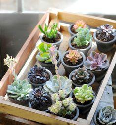 Cactus y Suculentas.