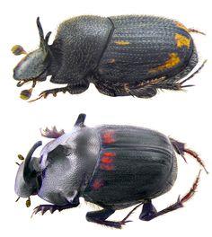 Onthophagus troglodyta; Onthophagus phanaeiformis