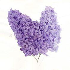Image of Lilac. Art Print