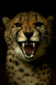 time to go Angry Cheetah Guepardo Beautiful Cats, Animals Beautiful, Big Cats, Cats And Kittens, Animals And Pets, Cute Animals, Cheetah Face, Tier Fotos, Here Kitty Kitty