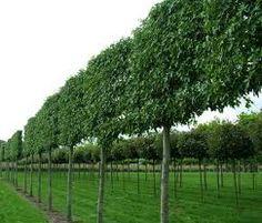 image result for arbre paliss persistant jardin pinterest am nagement paysager. Black Bedroom Furniture Sets. Home Design Ideas