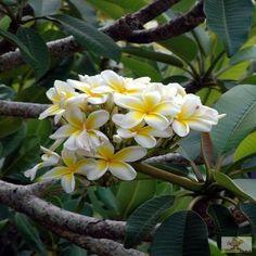 bermuda frangipani - Google Search
