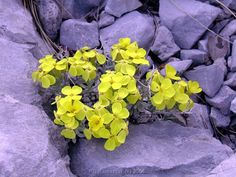 Velebitska degenija - rare flower that grows from the rock only on Velebit mountain