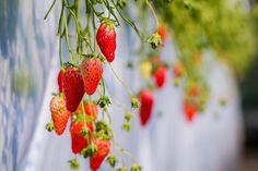 Strawberries hd wallpaper download free