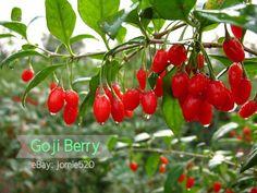 100 Himalayan Goji Berry seeds, (wolfberry ), most popular heathy berry ,dwarf bush rich in Antioxidant ! you choose! Garlic Seeds, Herb Seeds, Bonsai, Mulberry Fruit, Bamboo Seeds, Chinese Money Plant, Pepper Seeds, Fruit Seeds, Home Garden Plants