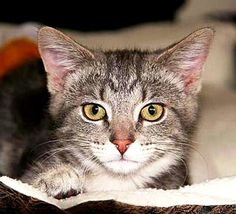 Determining Your Cat's Breed: Tabby Cats Profile