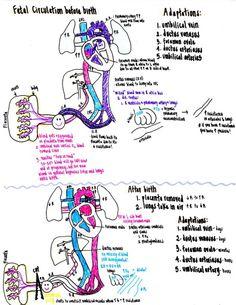 Fetal blood circulation for dummies fetal blood circulation http fetal circulation ccuart Gallery