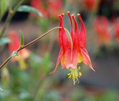 Wild columbine is another plant in my woodland garden. Woodland Flowers, Woodland Garden, Plants That Attract Butterflies, Secret Places, Seed Pods, Orange Flowers, Native Plants, Shrubs, Perennials