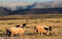 Karoo foodKaroo sheep graze on fragrant bossies scientifically proven to affect the flavour of the meat. South African Dishes, Sheep Farm, Lamb, Horses, Meat, The Originals, Space, Farming, Animals