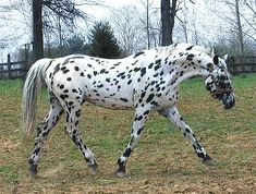 The Knabstrupper horse is an old and rare breed, originally developed in Denmark the horses come from the same original stock as the Spanish horses that gave rise to the Appaloosa Caballos Appaloosa, Noriker Horse, Appaloosa Horses, Friesian, Most Beautiful Horses, All The Pretty Horses, Animals Beautiful, Pretty Animals, He's Beautiful