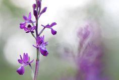 Dactylorhiza romana (Orchide romana) - Riserva naturale Monterano - RM ©Lumachina