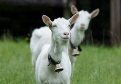 Funny Animal Pictures - View our collection of cute and funny pet videos and pics. New funny animal pictures and videos submitted daily. Cute Baby Animals, Farm Animals, Funny Animals, Funny Animal Videos, Funny Animal Pictures, Cabras Saanen, Happy Goat, Goat Farming, Animal Facts