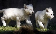 Zoológico da Holanda apresenta raros filhotes de leão branco. (Foto: Bas Czerwinski)