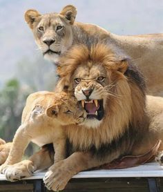 The Lion Family - watch out for daddy's big teeth, baby. It's the photographer that had best watch out. The baby and female are aware of danger. Baby Lion----- Not so much! Animals And Pets, Baby Animals, Cute Animals, Wild Animals, Animals Images, Beautiful Cats, Animals Beautiful, Beautiful Family, Big Cats
