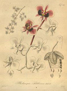 orchidees gravures - 2241 Phalaenopsis schilleriana - Gravures, illustrations, dessins, images