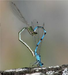 Damselflies: Damselflies are insects in the order Odonata. Damselflies are similar to dragonflies, but the adults can be distinguished by the fact that the wings of most damselflies are held along, and parallel to, the body when at rest. Dragonfly Art, Dragonfly Tattoo, Dragonfly Meaning, Beautiful Bugs, Beautiful Butterflies, Heart In Nature, Cool Bugs, Pictures Of The Week, Bugs And Insects