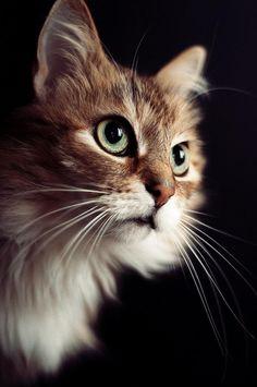 Untitled by Georg Korzun on 500pxWhat a beautiful cat! (same cat as ferocious roar, for contrat!!)