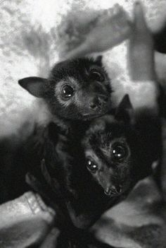 Baby bats. AKA puppies with wings as another pinner said!