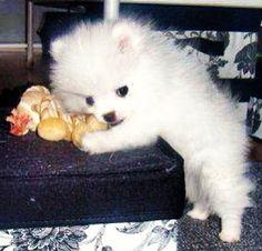 Baby Nola the Cloud cute white Pomeranian dog via www.Facebook.com/NolaTheCloud