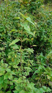 Frøy: Lovlig doping prøv den... Den, Herbs, Herb, Medicinal Plants