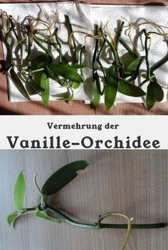 Vanilla can be easily multiplied by cuttings. - New Ideas Growing Orchids, Growing Plants, Flower Images, Flower Pictures, Cool Plants, Air Plants, Hair Rainbow, Vanilla Plant, Comment Planter