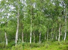 Betula Pendula Silver Birch Tree. This popular Silver Birch is commonly planted in residential gardens around temperate Australia for its white trunk and fresh green foliage. Good when planted in odd numbered groups to create an attractive copse in parks and larger gardens. H x S up to 10 x [...]