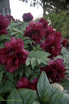 Hephestos tree peony - LOVE this color! Garden Yard Ideas, Home Garden Plants, Garden Shrubs, Garden Landscaping, Bright Flowers, Beautiful Flowers, Bonsai, Tree Peony, Peonies Garden