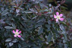 rosa glauca - Antique Roses Forum - GardenWeb