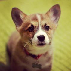 Cutest corgi puppy ever