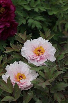 牡丹園 八重桜 - からももの庭