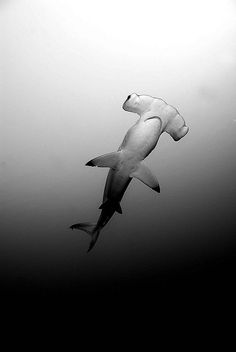 thelovelyseas: hammerhead shark b&w by sea zoom on Flickr.