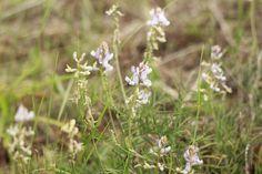 mi casita en el bosque: Flores silvestres en primavera ♥ Astragalus