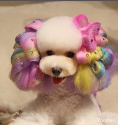 More About Poodle Cute Dog Grooming Styles, Dog Grooming Tips, Poodle Grooming, Grooming Shop, Cute Puppies, Cute Dogs, Poodle Haircut, Poodle Cuts, Creative Grooming