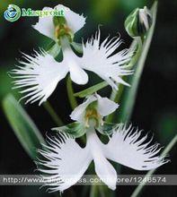 Mundo del Japonés de Flores Raras Radiata Semillas Para El Jardín y el Hogar, Paloma Blanca Orquídeas Semillas de siembra, blanco semillas de Flores, 50 UNIDS semillas(China (Mainland))