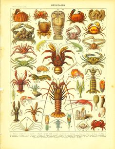 1910s Crustaceans Print Crabs Lobster Shrimp by CarambasVintage, $16.00