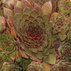 "Hardy (cold tolerant) sempervivum succulents (""hen and chicks"") for sale including beautiful, perennial sempervivums perfect for rock gardens and planters. Planting Succulents, Planting Flowers, Garden Art, Garden Plants, Mushroom Kits, Alpine Plants, Hens And Chicks, Deep Burgundy, Indoor Planters"
