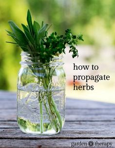 Regrowing plants like herbs is a simple process. If you are interested to propagate herbs, you can then replant them in a garden or in various containers.