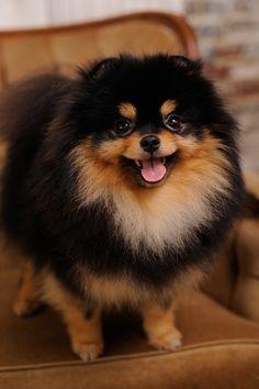 Pomeranian // Zest for Life   pedigreedatabase.com