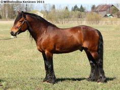 Coldblood Trotter - stallion Rinde Jerven
