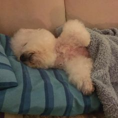 Creature comforts  Bonbon the bichon loves snuggling up under blankets. #tw #dog #dogs #mansbestfriend #bichonfrise #bichon #bichonlove #bichonstagram #instagood #instadaily #cutedogs