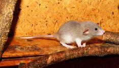 ratten bek mpfen hausmittel gegen ratten im haus jetzt. Black Bedroom Furniture Sets. Home Design Ideas