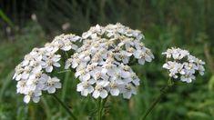 """Molto utilizzata per traumi ed emorragie (tanto da essere chiamata in piemontese """"erba dij taj"""") questa pianta dalle mille proprietà ha"""