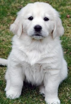 English Cream Golden Retriever, so fluffy