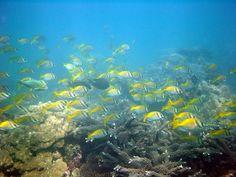 Rabbitfish school at Mae Haad Reef, Koh Phangan Scuba Diving Thailand, Koh Phangan, Beautiful Places, Landscapes, Fish, School, Paisajes, Scenery, Pisces