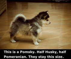 If You Love Huskies But Not How Large They Are There's A Solution