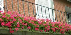 Sakız Sardunya Bakımı Nasıl Yapılır? Geraniums, Bonsai, Mandala, Outdoor Structures, Plants, Home Decor, Flower Gardening, Decoration Home, Room Decor