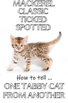 What is a tabby cat? It's not a breed as some people think. Find out which cat breeds can have tabby patterns. Learn how to tell the difference between mackerel, classic… Cat Crying, Cat Attack, Cat Info, F2 Savannah Cat, Orange Tabby Cats, Owning A Cat, Cat Behavior, Cat Facts, All Family