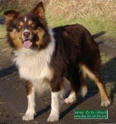 border collie -- red tri colors are my favorites