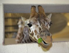 New giraffes at the Maryland Zoo in Baltimore!
